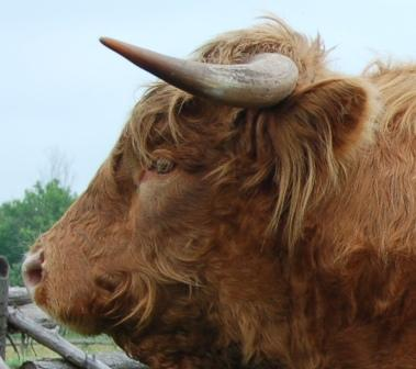 Classical mature bull with slight upward inflection of the horns towards the tip.