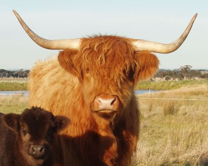 Highland cow & calf.