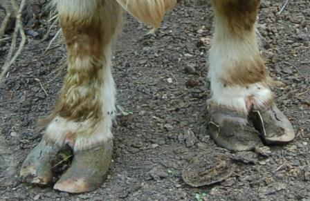 Terrible feet on a bull - long, broad toes (and vertical cracks in the lateral claws)